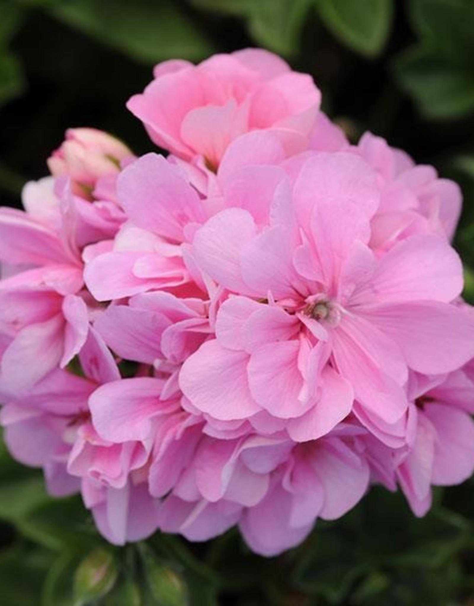 "Squak Mtn Ivy Geranium 'Pink Shades' 4"""