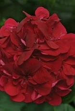 "Squak Mtn Ivy Geranium 'Burgundy' 4"""