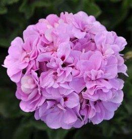 """Squak Mtn Ivy Geranium 'Lavender' 4"""""""