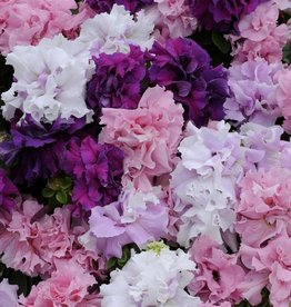 Squak Mtn Petunia 'Double Cascade Mix' Jumbo Pack