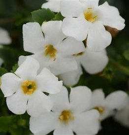 Squak Mtn Bacopa MegaCopa 'White' 4""