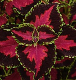 Squak Mtn Coleus 'Heartbreaker' 4""