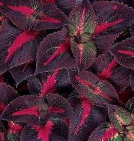 """Squak Mtn Perilla Magilla 'Purple' 4"""""""