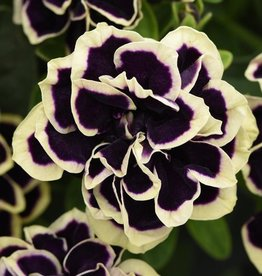 Squak Mtn Petunia 'Midnight Gold' 4""