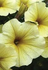 "Squak Mtn Petchoa SuperCal 'Light Yellow' 4"""