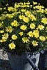 Squak Mtn Argyranthemum 'Beauty Yellow' 4""