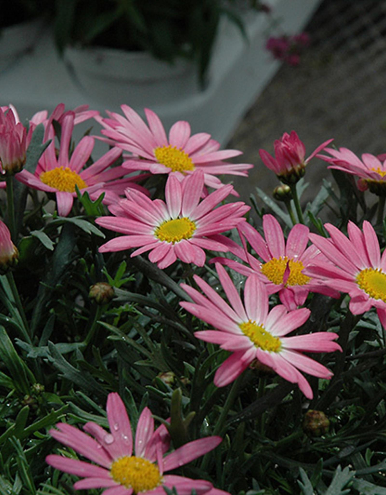 """Squak Mtn Argyranthemum 'Angelic Pink' 4"""""""