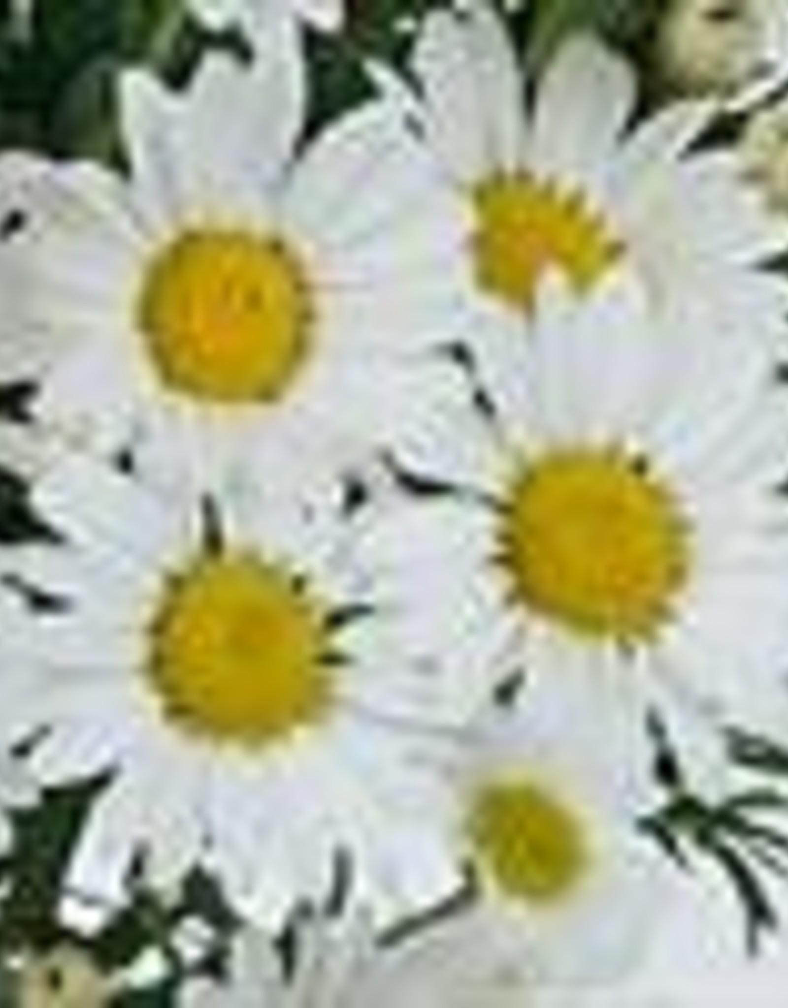 "Squak Mtn Argyranthemum 'Everest' 4"""