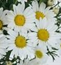 Squak Mtn Argyranthemum 'Everest' 4""