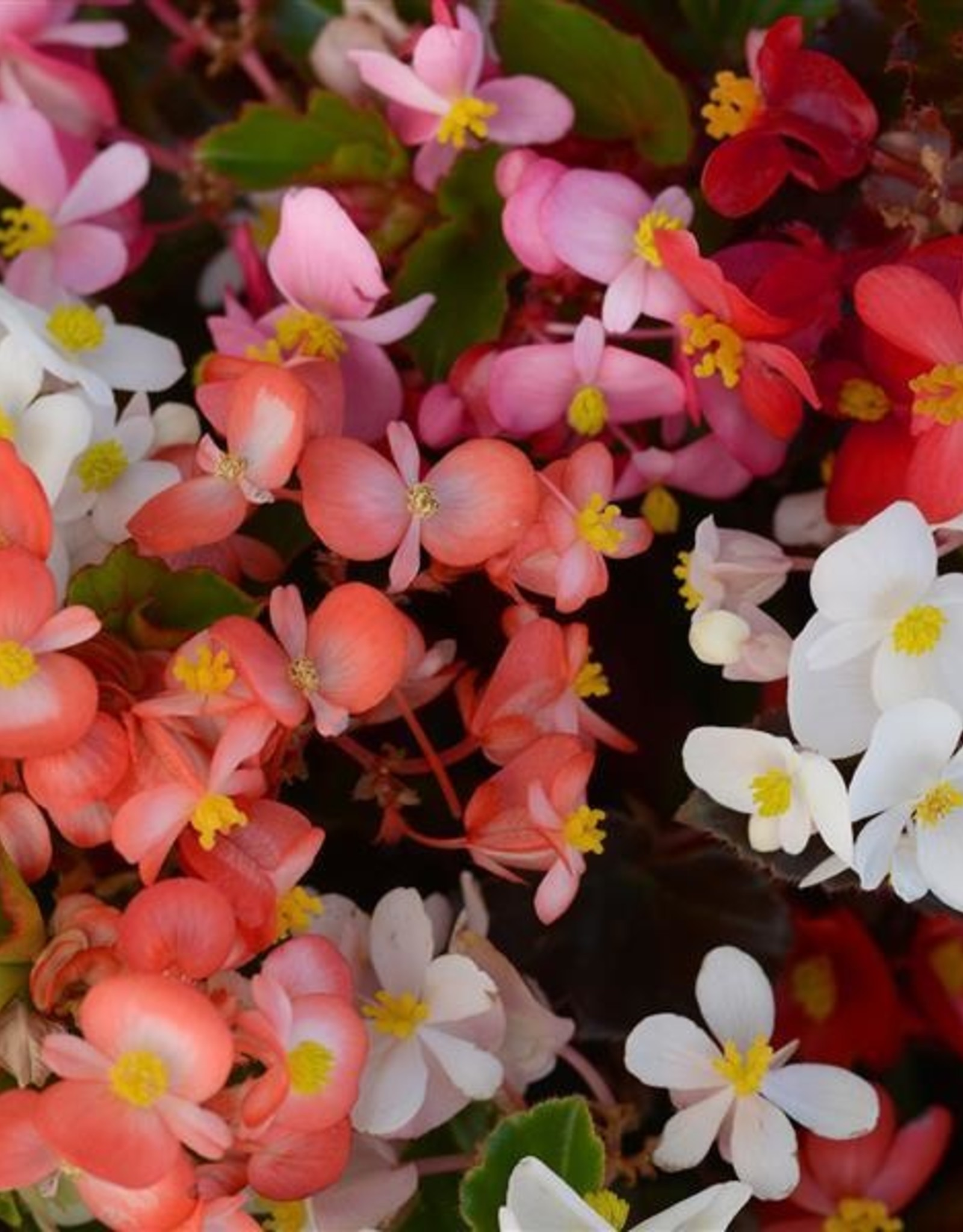 """Squak Mtn Begonia 'Baby Wing Mix' 4"""""""