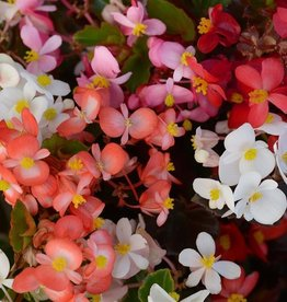 Squak Mtn Begonia 'Baby Wing Mix' 4""