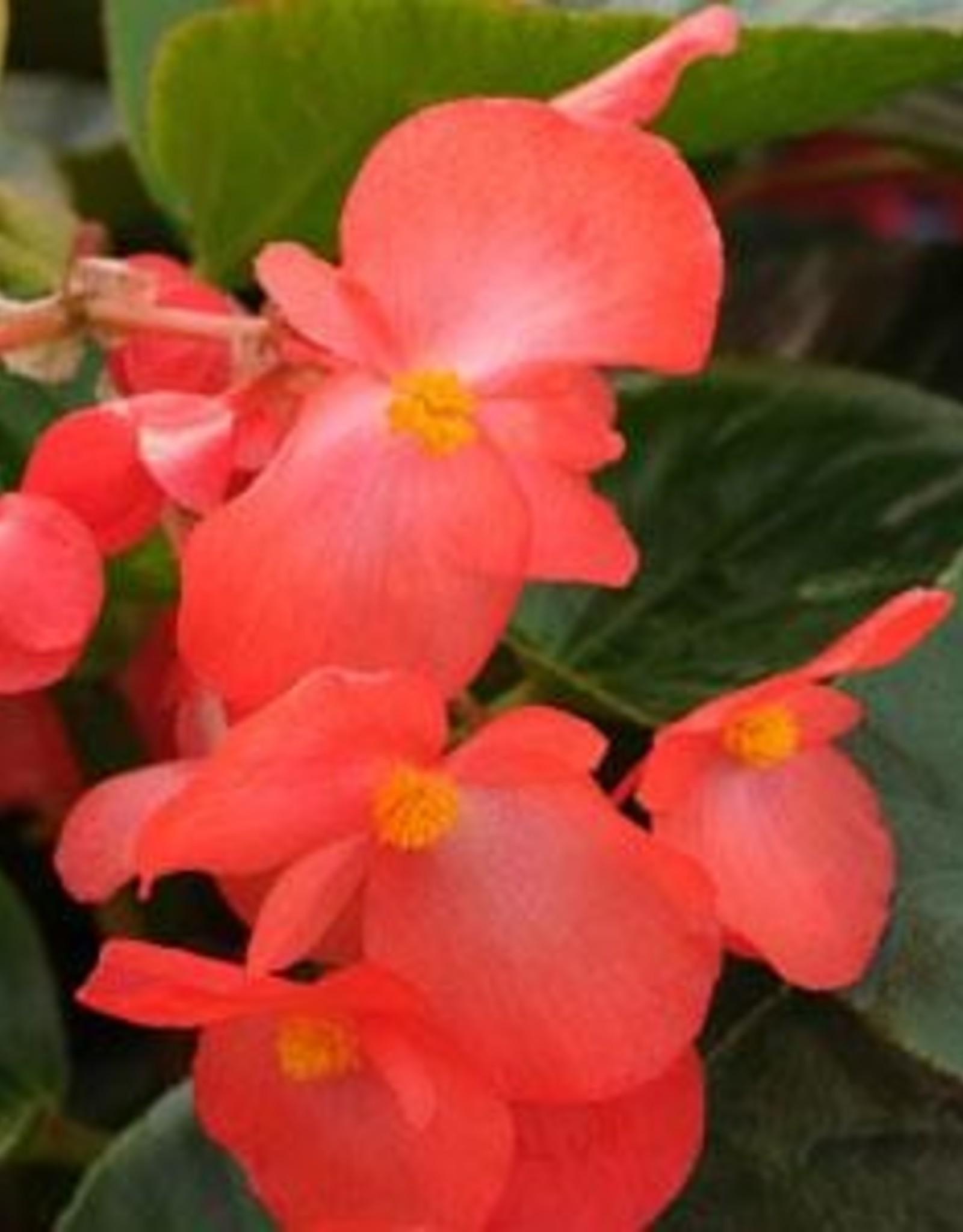 """Squak Mtn Begonia 'Whopper Red Green Leaf' 4"""""""