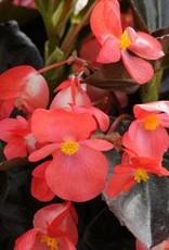 """Squak Mtn Begonia 'Whopper Red Bronze Leaf' 4"""""""