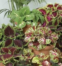 Squak Mtn Coleus 'Kong Mix' 4""