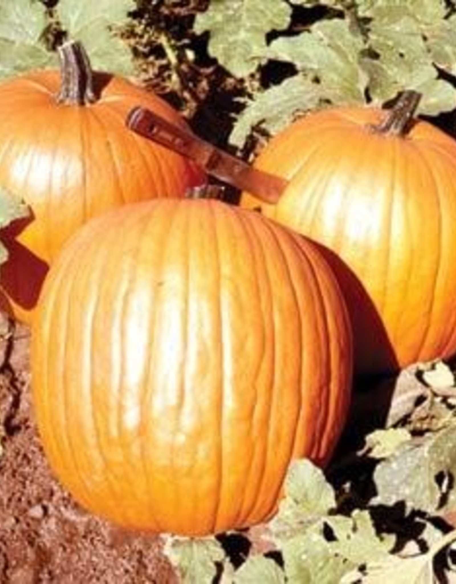 "Squak Mtn Pumpkin 'Howden' 2.5"""