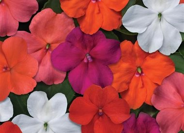 Beacon impatiens