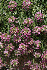 "Squak Mtn Lobularia 'Rasberry Stream' 4"" Pot"
