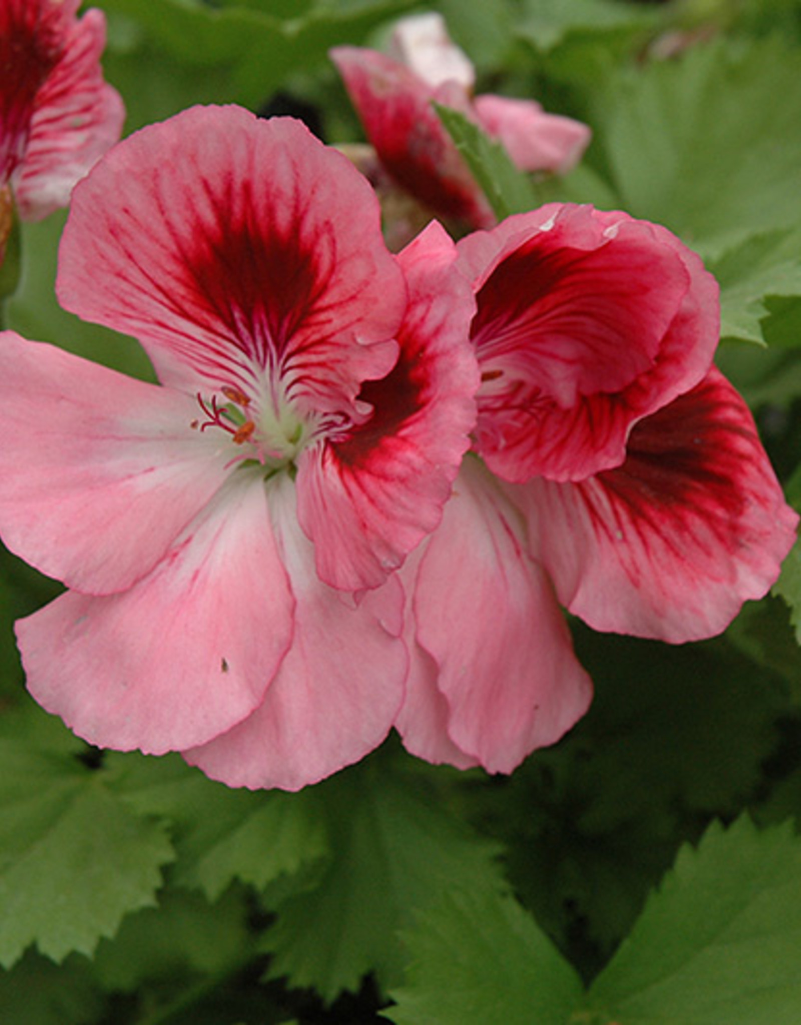 Squak Mtn Regal Geranium 'Elegance Rose Bicolor' 4""
