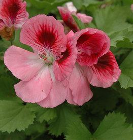 """Squak Mtn Regal Geranium 'Elegance Rose Bicolor' 4"""""""