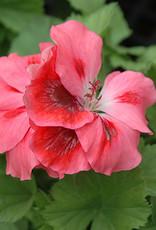 """Squak Mtn Regal Geranium 'Elegance Cherry Blush' 4"""""""