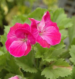 "Squak Mtn Regal Geranium 'Elegance Lilac Sachet' 4"""
