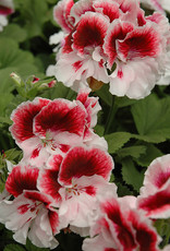Squak Mtn Regal Geranium 'Elegance Crystal Rose' 4""