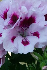 Squak Mtn Regal Geranium 'Elegance Lavender Splash' 4""