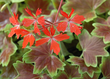 Fancy Leaf Geraniums