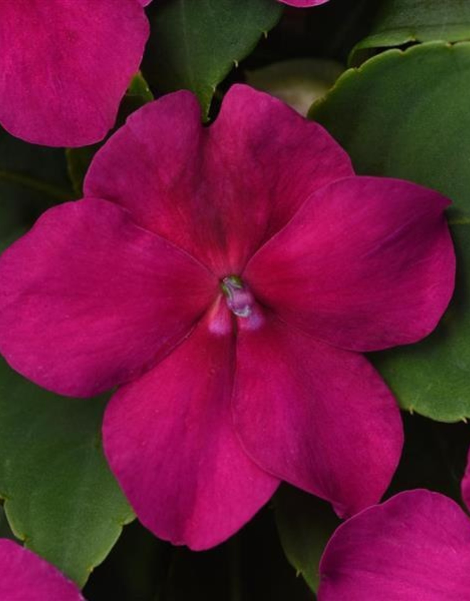 Squak Mtn Impatiens Beacon 'Violet' Jumbo Pack