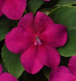 Squak Mtn Impatiens Beacon 'Violet' 4""