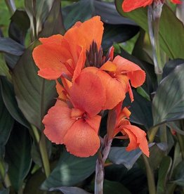 Squak Mtn Canna Cannova 'Bronze Orange' 4""