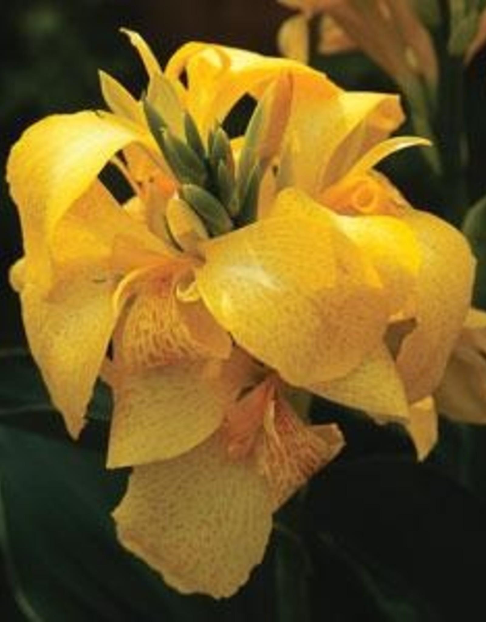 "Squak Mtn Canna Cannova 'Yellow' 4"""