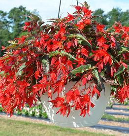 Squak Mtn Begonia Beauvilia 'Red'