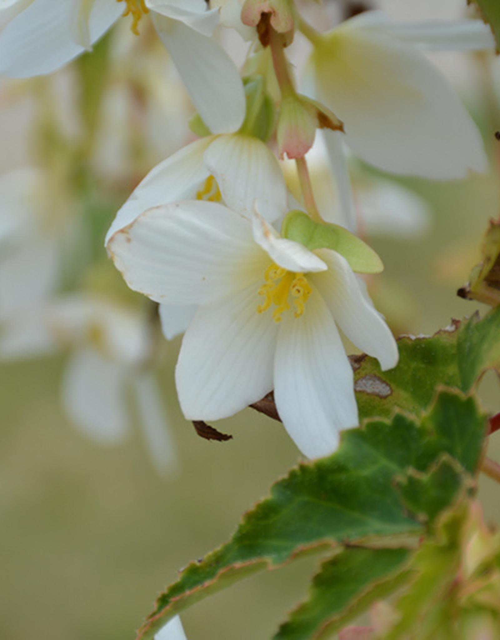 Squak Mtn Begonia Beauvilia 'White'