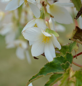 Squak Mtn Begonia Beauvilia 'White'