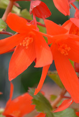 Squak Mtn Begonia Waterfalls Encanto 'Orange'