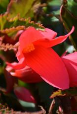 Squak Mtn Begonia Waterfalls Encanto 'Pink'