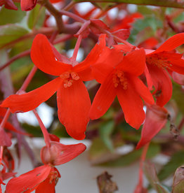 Squak Mtn Begonia Waterfalls Encanto 'Red'