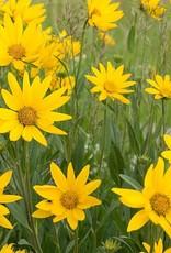 "Squak Mtn Argyranthemum 'Sunny Spring' 4"""