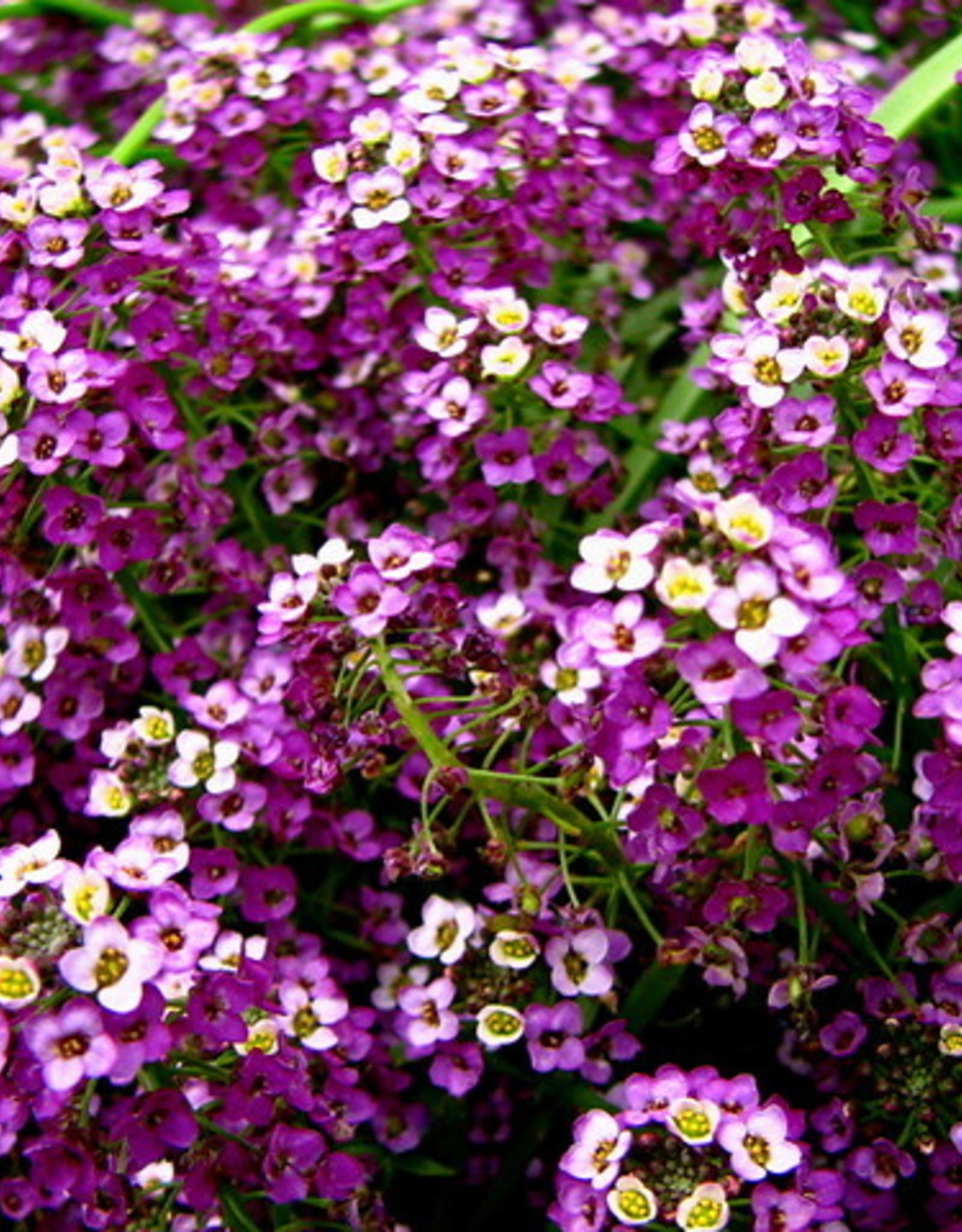 "Squak Mtn Lobularia 'Deep Lavender Stream' 4"" Pot"