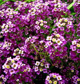 "Squak Mtn Lobularia 'Deep Lavender Stream' 4"" Pot"