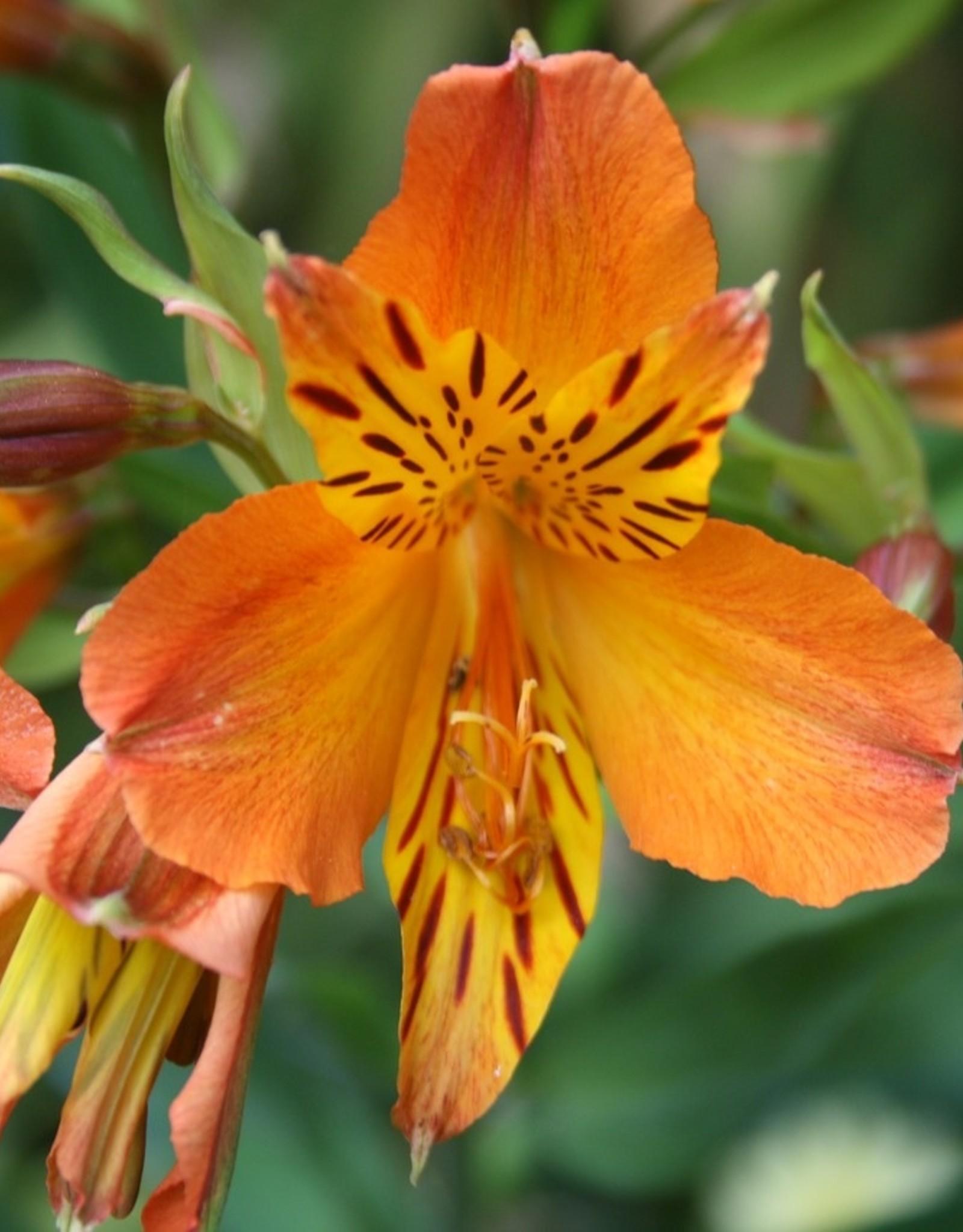 "Squak Mtn Alstroemeria Colorita 'Eliane Orange' 8"""
