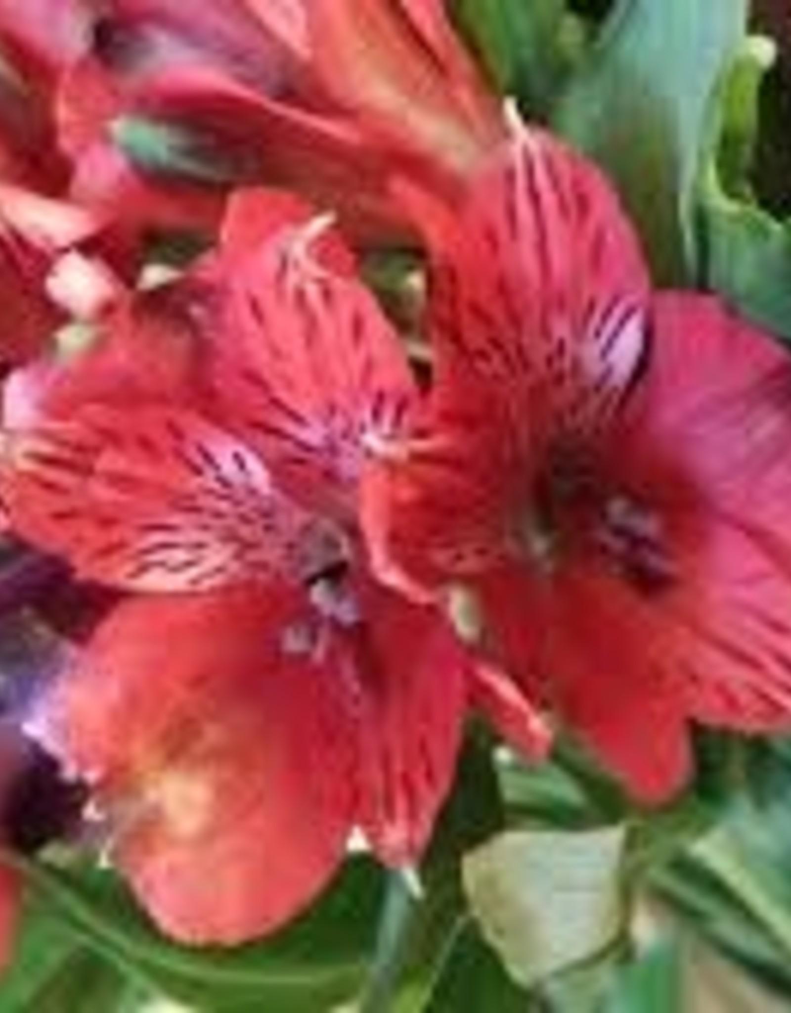 "Squak Mtn Alstroemeria Colorita 'Katiana' 8"""