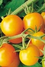 Squak Mtn Tomato 'Sungold Cherry' 1 Gallon