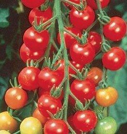 Squak Mtn Tomato 'Sweet 100 Cherry' 1 Gallon