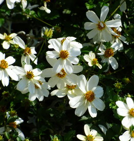 Squak Mtn Bidens 'White Delight' 4""
