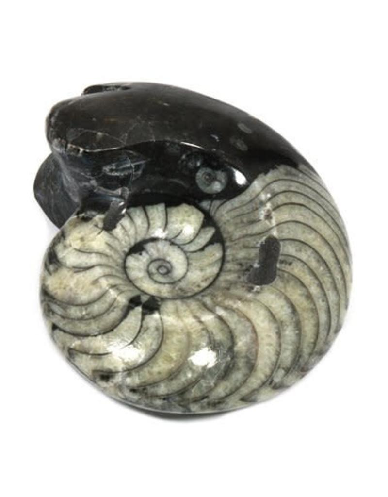 Squire Boone Village Goniatite Fossil