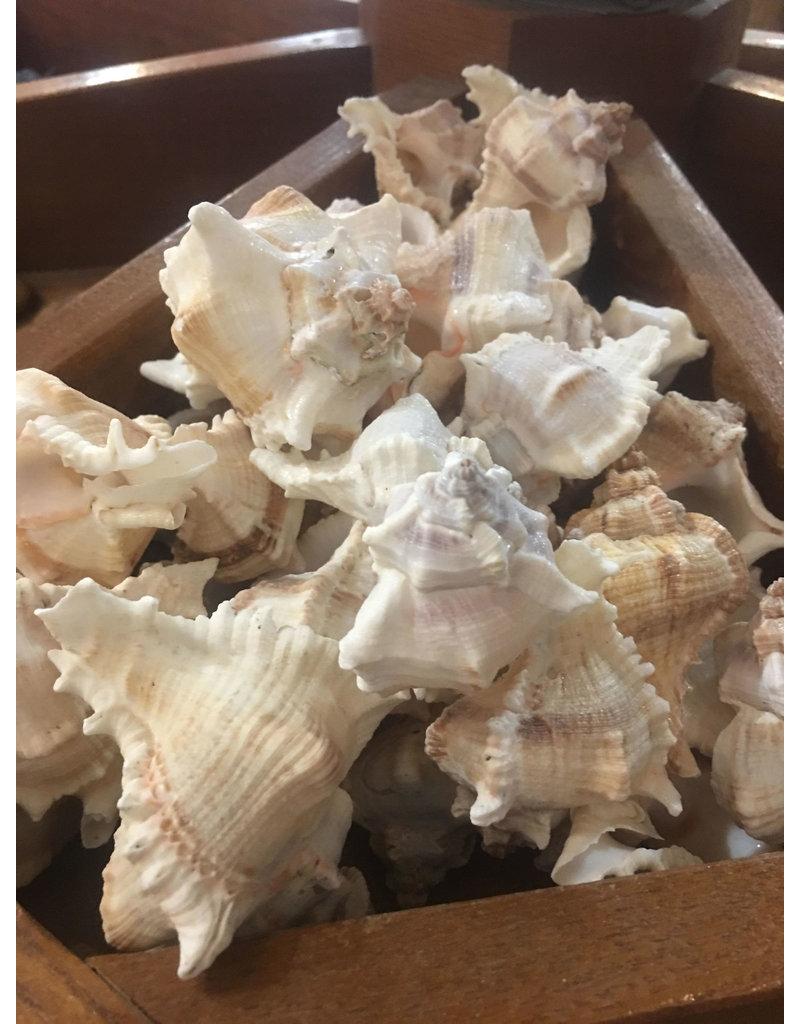 Squire Boone Village Endivia Seashells