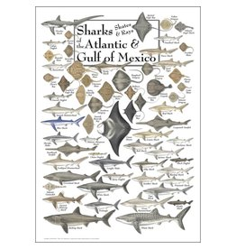 Steven M Lewers and Associates Poster - Sharks, Skates, & Rays of the Atlantic & Gulf of Mexico