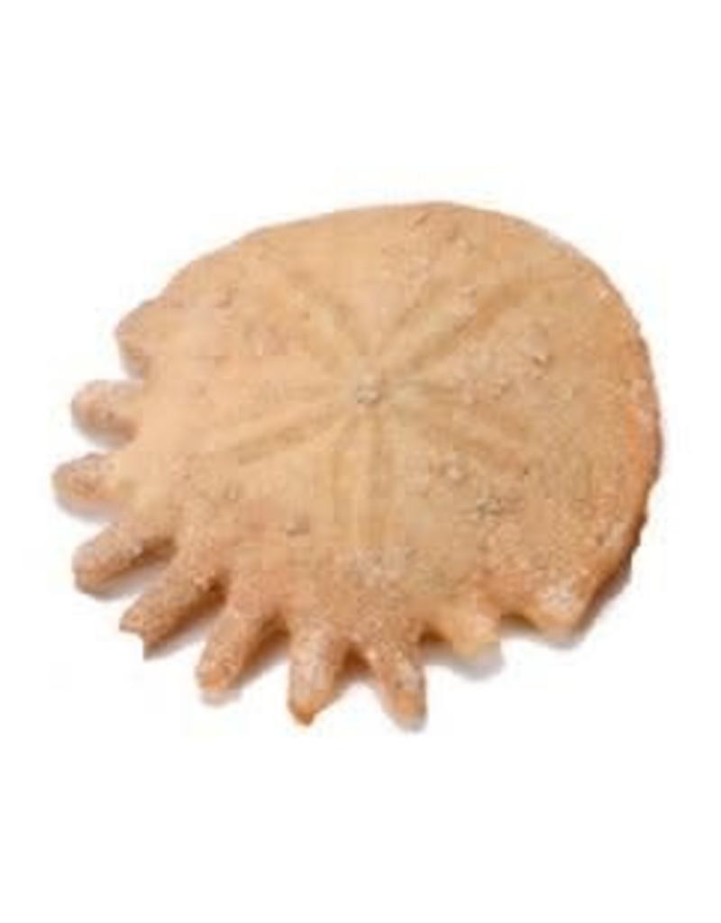 "Squire Boone Village Fossil Sand Dollar (Morocco 1"" Diameter)"